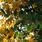 Acacia Tree in Bloom