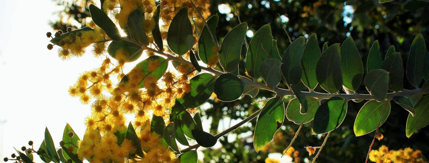 Acacia Tree in Bloom
