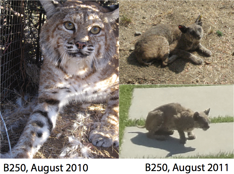 Photo of a bobcat (B#250) captured for the Los Angeles bobcat project examining the effects of anticoagulant rat poisons on bobcat health. B250 was a large healthy adult male when initially captured in 2010, but photos taken by local residents in 2011 show that he was infected with severe mange. He likely died of the disease.