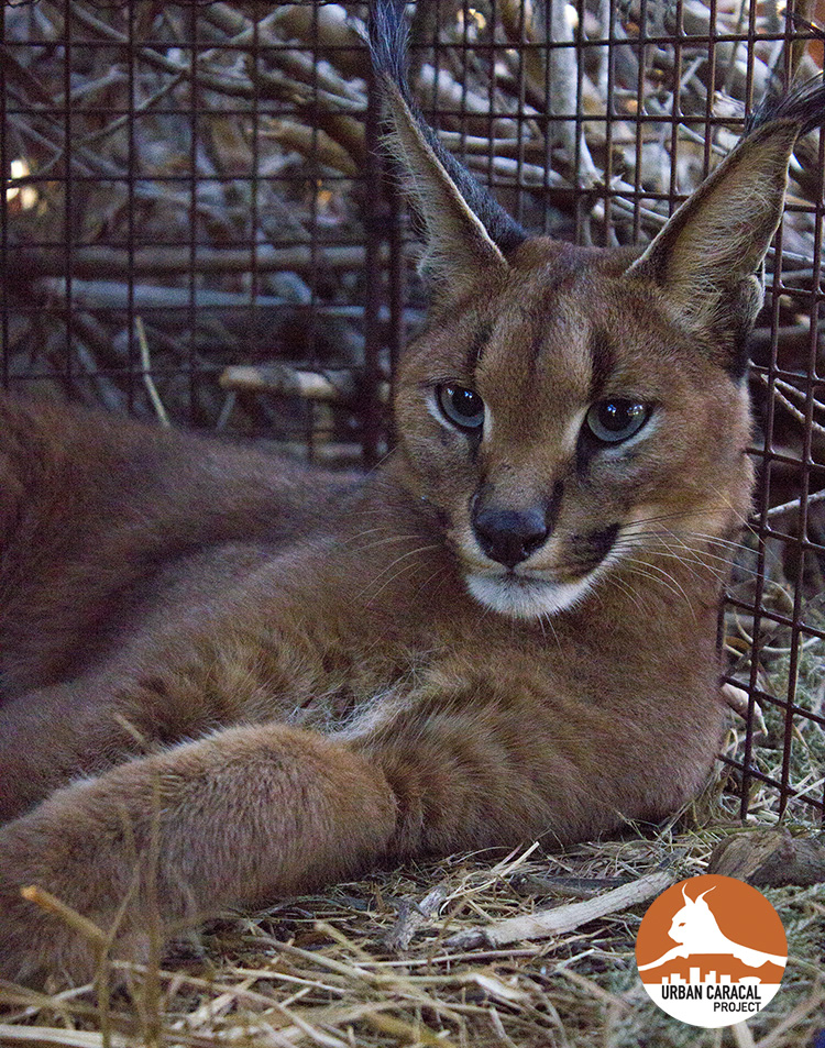 Jasper was a young juvenile caracal radio-collared as part of the Urban Caracal Project. He was hit by a car on the M3 in Cape Town. He was found exposed to 3 different anticoagulant rat poison compounds, indicative of multiple exposure events because each bait formulation comprises a single compound.