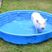 Mini Pig in Pool