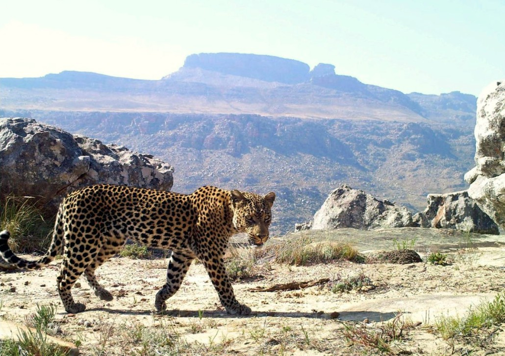 A Cape mountain leopard on the prowl. Photo via The Cape Leopard Trust.