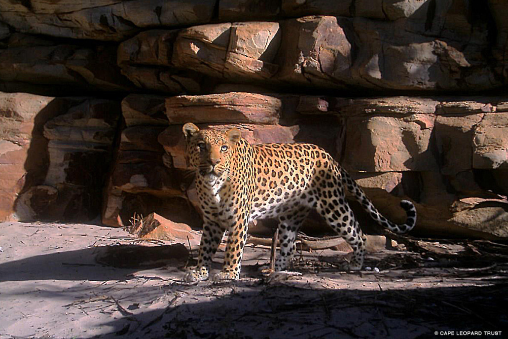 "The Cederberg Leopard and Caracal Projects checked two remote cameras in Klipbok Kloof. They were rewarded with a great image of this male leopard, ""Titus."" Photo by: The Cape Leopard Trust."