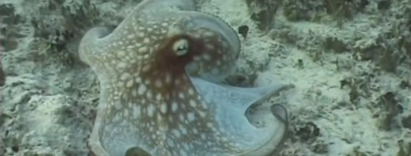 Octopus - Underwater Astonishments Ted Talk