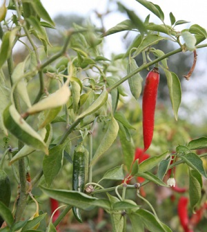 red_hot_chili_plant_pictures