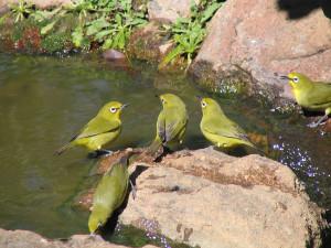 cape-white-eye-sunbird-1360335