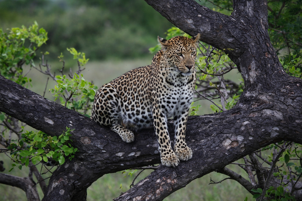 A leopard rests in a tree in Kruger National Park. Photo by: Tom Dooley